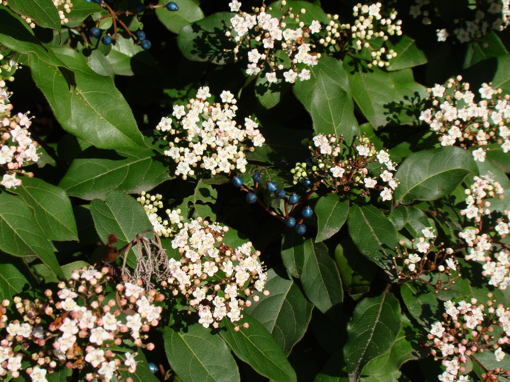 when is the right time to trim viburnum a beautiful yard landscaping. Black Bedroom Furniture Sets. Home Design Ideas